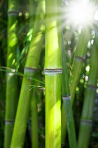 Zdjęcie bambus