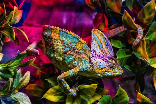 Zdjęcie kameleon